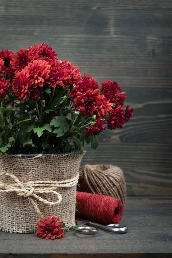 Pot of red Chrysanthemum flowers wrapped in burlap and tied with twine