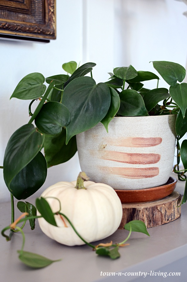 Philodendron in Brush Stroke Pot with Baby Boo Pumpkin