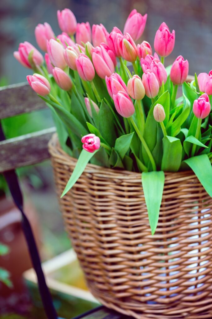 basket with huge bouquet of pink tulips