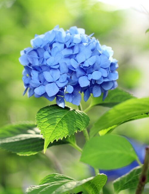Beautiful blue hydrangea bloom in the garden