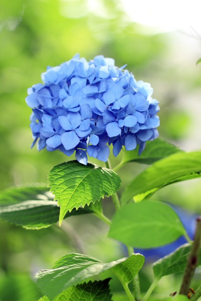 Beautiful blue hydrangea bloom in the garden
