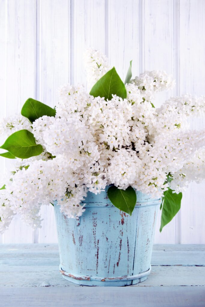 Bouquet of white lilac flowers in a wooden blue ice cream bucket