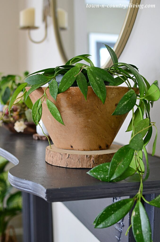 Hoya Plant in Artisan Acacia Bowl