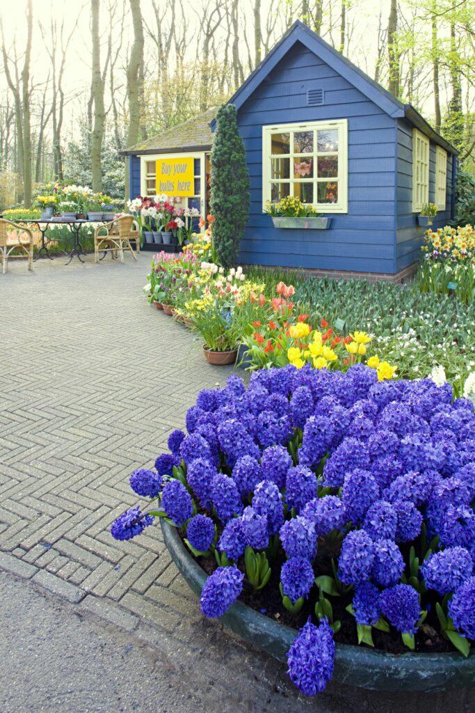 Keukenhof Gardens, Lisse, Netherlands Blue Cottage with Purple Hyacinths