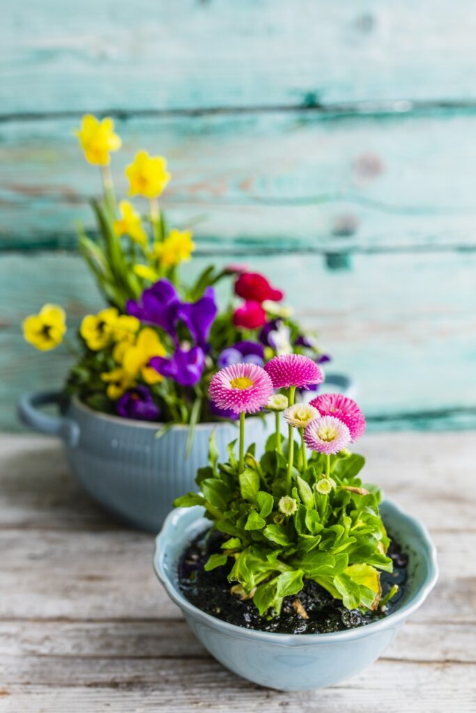 Spring flower arrangements with pink English daisies and yellow daffodils