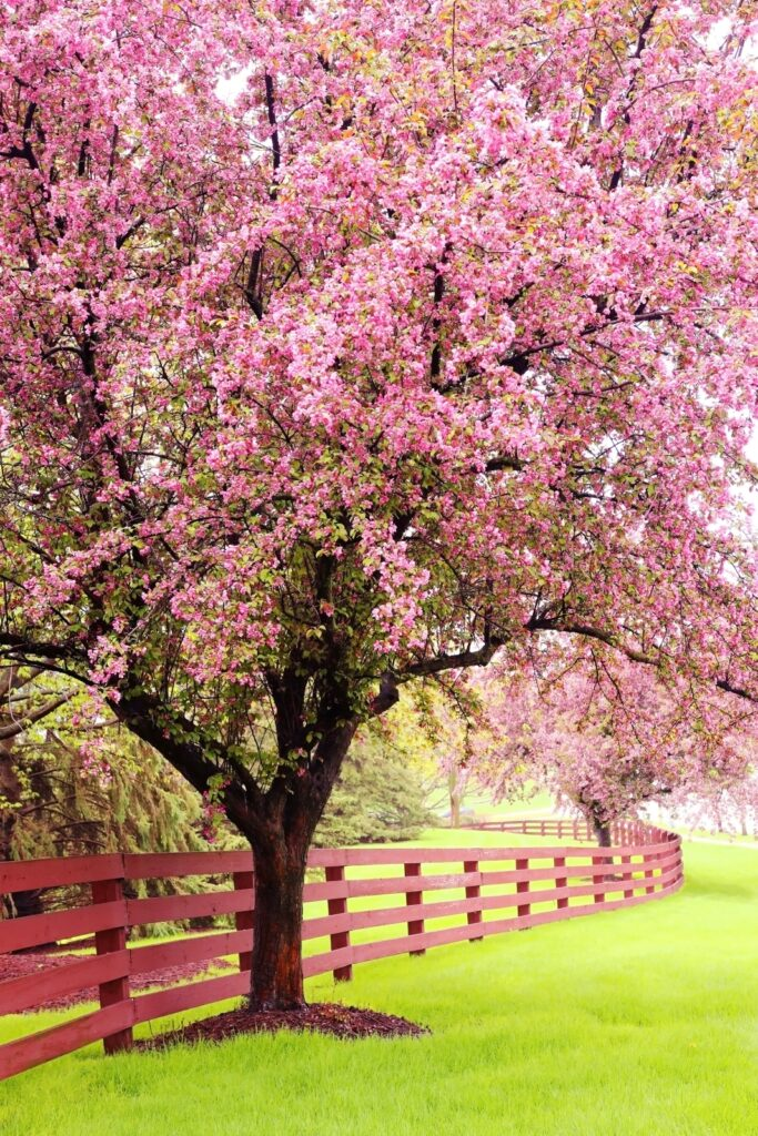 Scenic view with beautiful pink blooming trees along wooden fence.