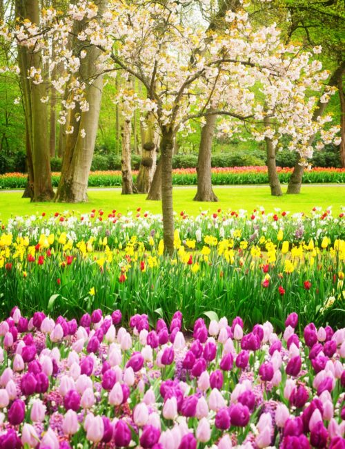 Colorful Blooming cherry tree and tulips in spring garden