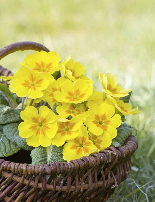 Yellow Primrose in Handled Basket