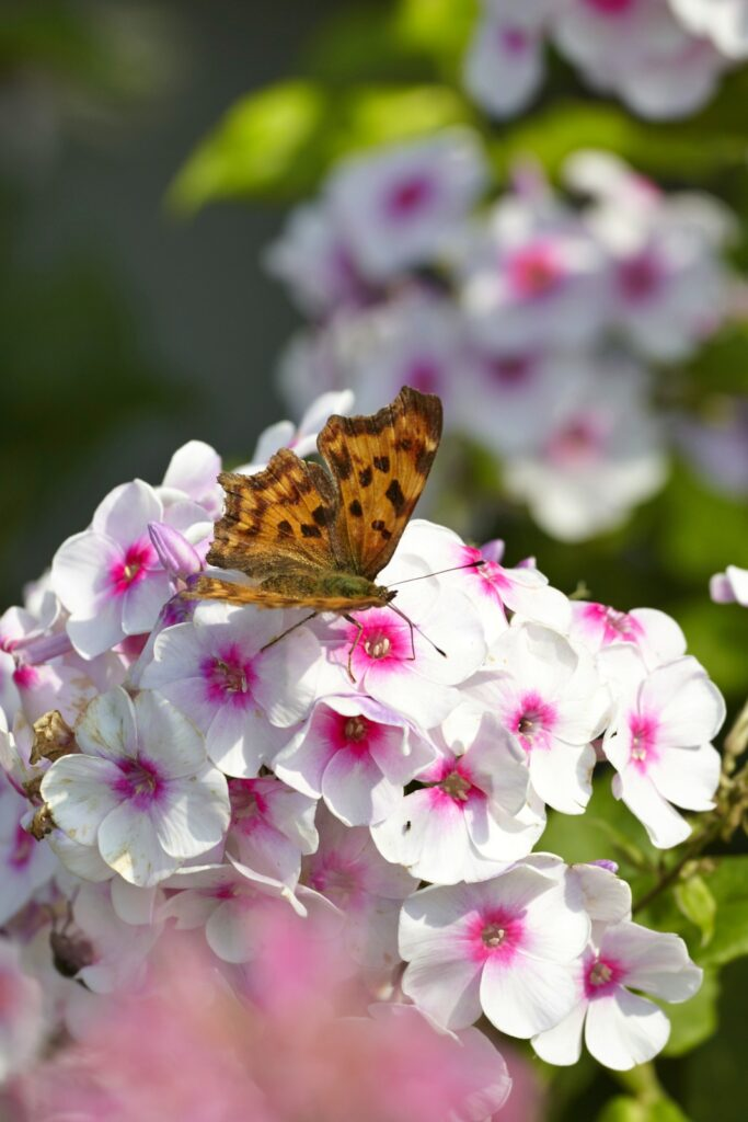butterfly perched on a phlox flower