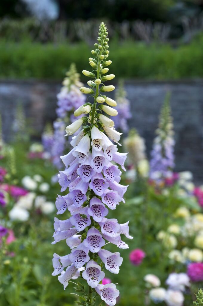 Foxglove flowers in a cottage garden