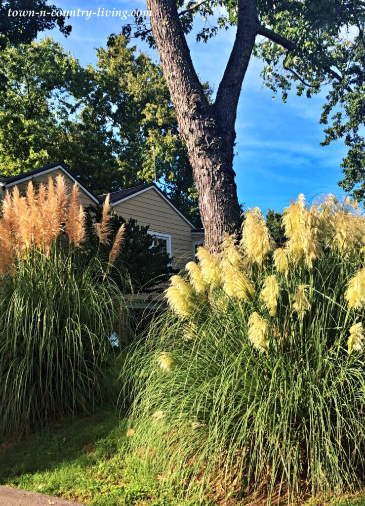 Pampas Grass in a Tennessee Yard