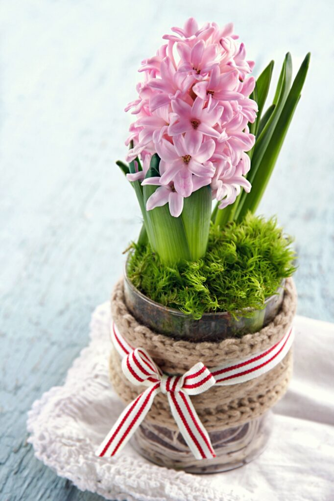 Pink Hyacinth planted in a glass tumbler
