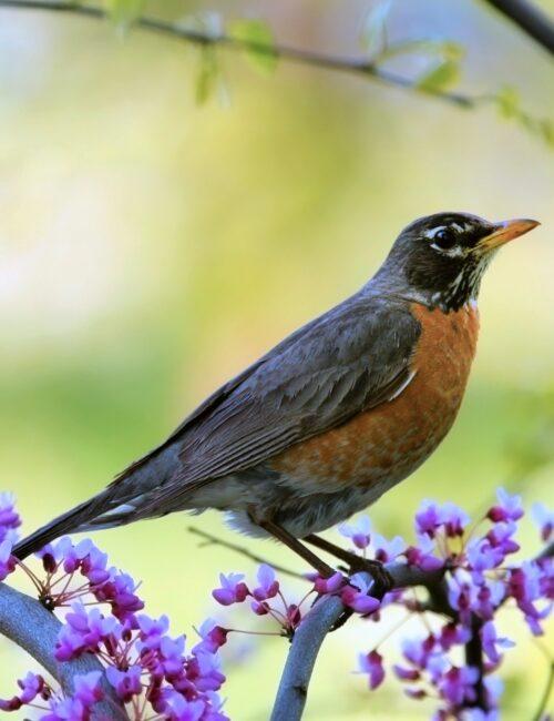 American robin in flowering spring tree