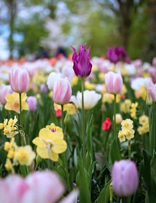 Tulip and Spring Garden Ideas