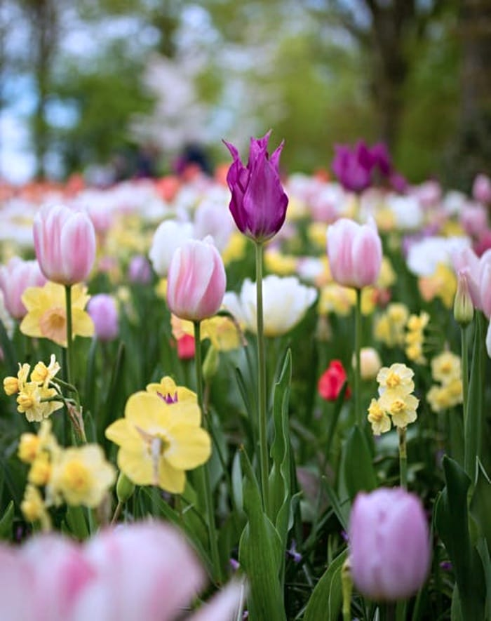 Tulip and Spring Garden Ideas
