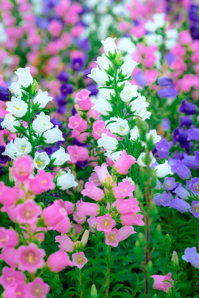Campanula Flower in a Cottage Garden