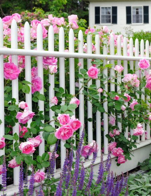 White picket fence with pink heirloom roses and lavender salvia