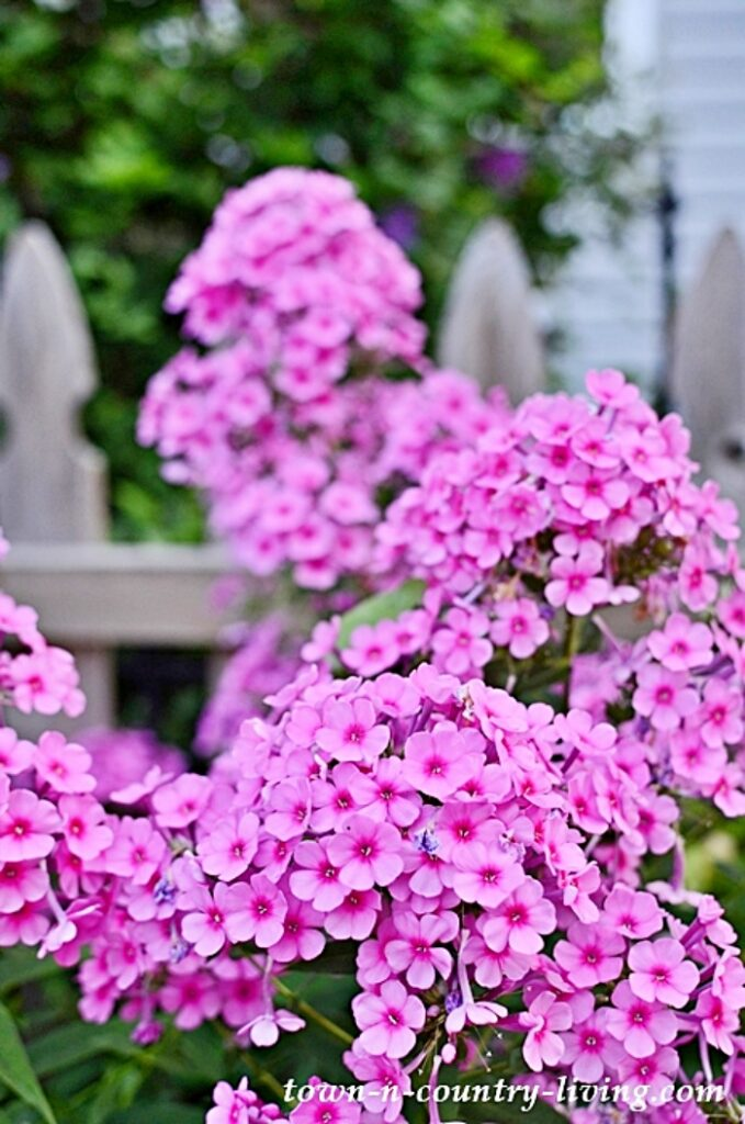 Pink Phlox attract butterflies to your yard