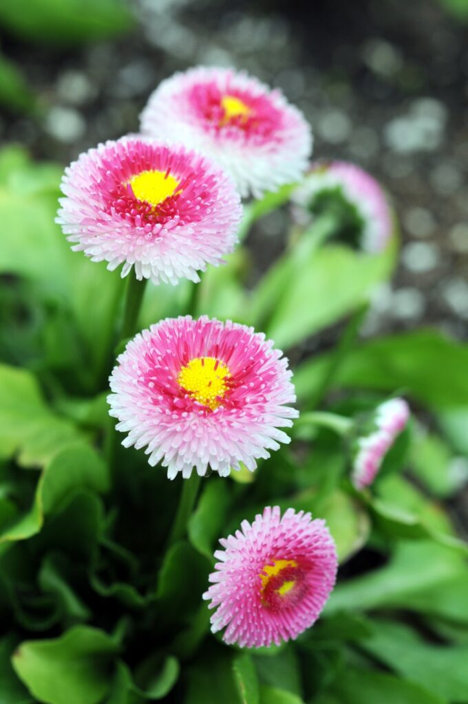 English daisy flower blooming in garden