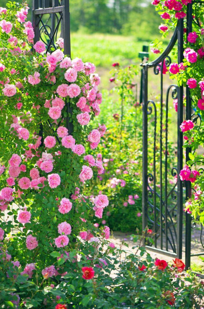 Pink Climbing Roses on a Garden Arbor