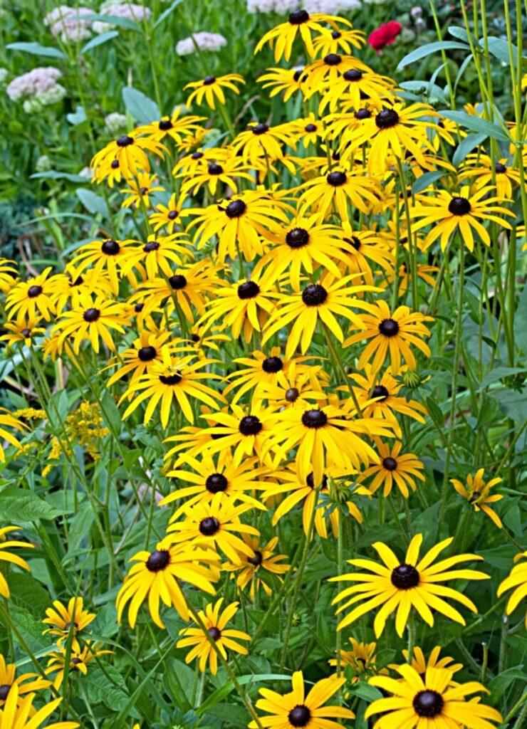 Beautiful rudbeckia flowers in the garden