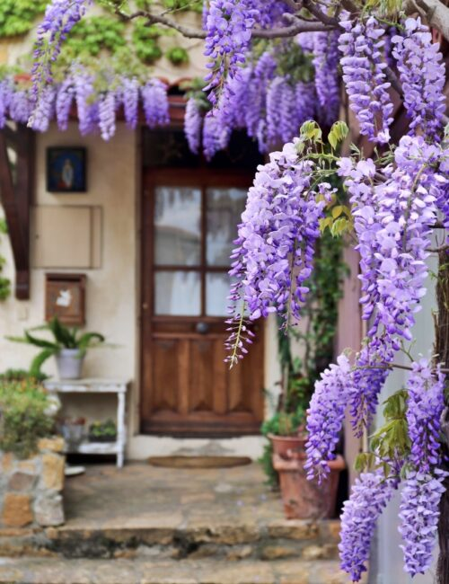 French Village: flowering purple wisteria vine