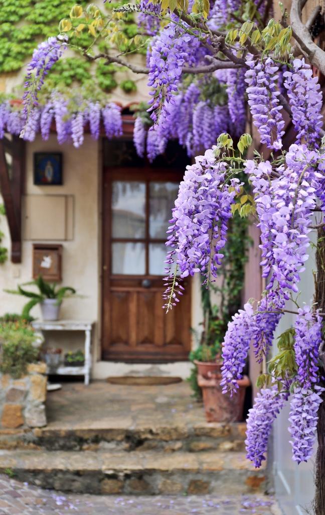 Französisches Dorf: blühende lila Glyzinienrebe