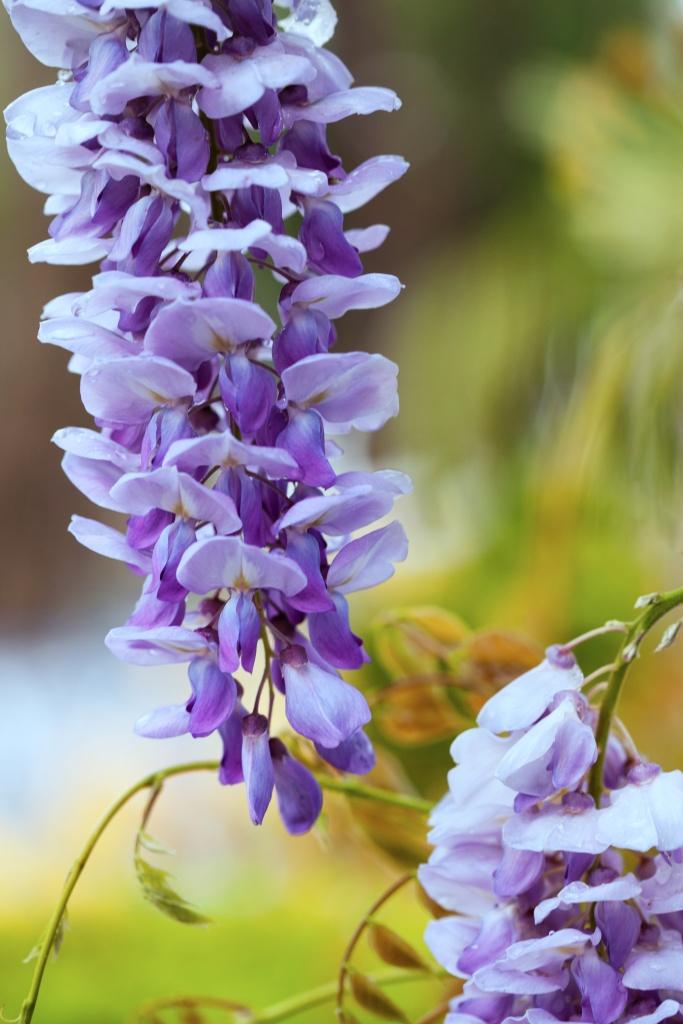 Einzelne Blüte von lavendelblauer Glyzinie