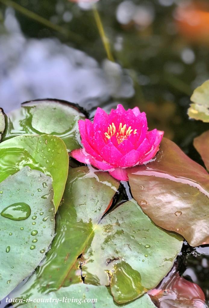 James Brydon Waterlily in Backyard Koi Pond