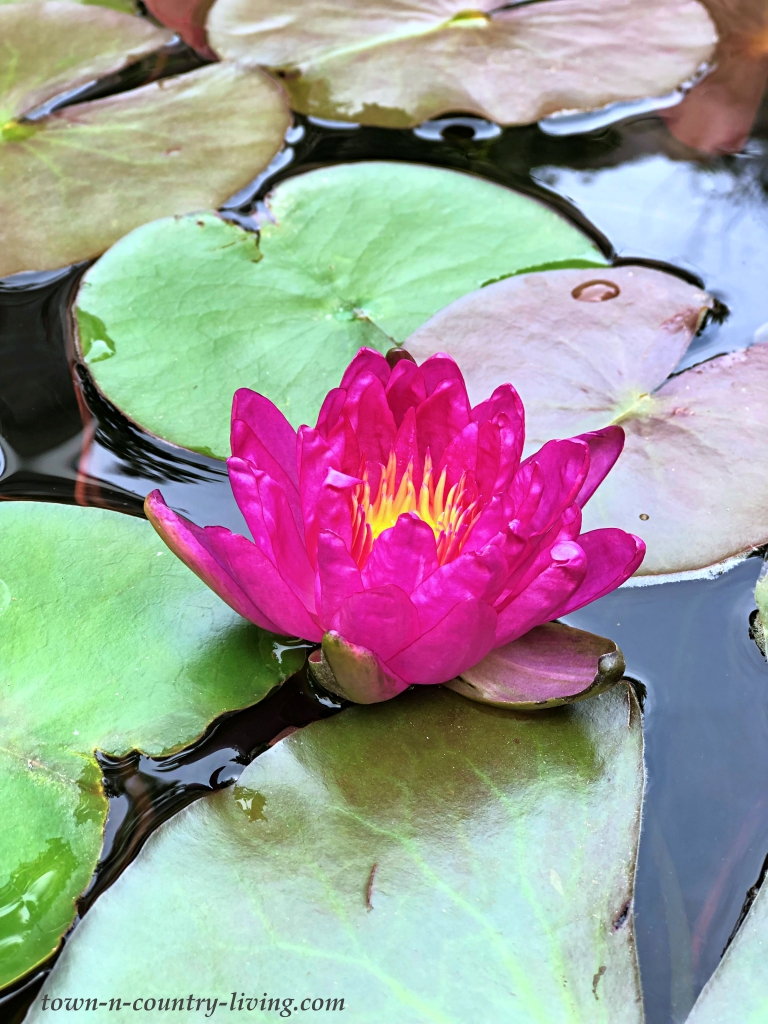 Violicious Waterlily in Koi Pond