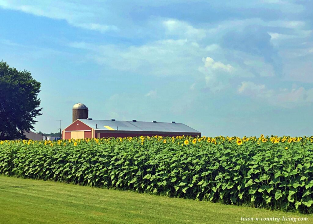 Sunflower Farm with Red Barn