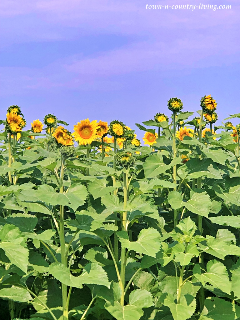 Field of Sunflowers on a Midwestern Farm