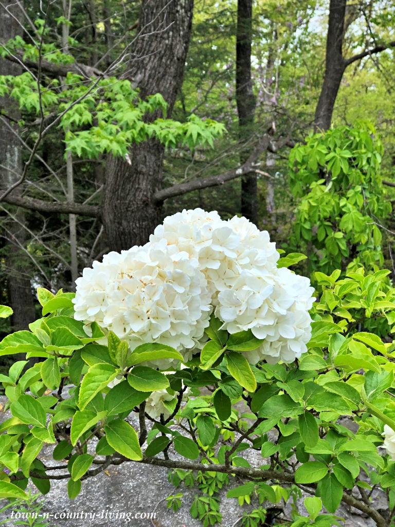 Hydrangea in bloom in the woods of Georgia