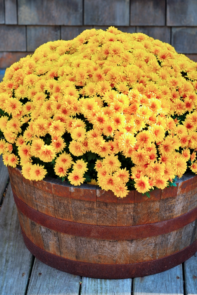 Yellow mums in vintage wooden whiskey barrel