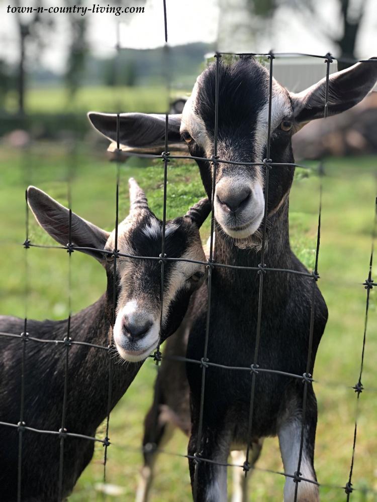 Wisconsin Farm Goats