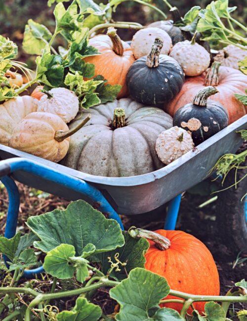 Wheelbarrow filled with autumn gourds