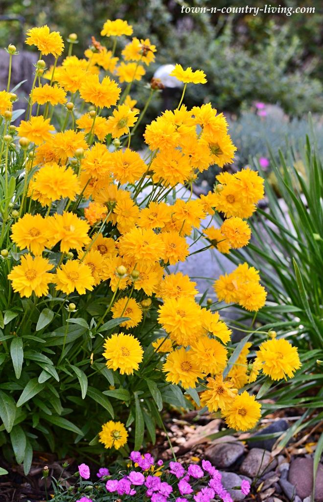 Yellow Cosmos in a Rock Garden