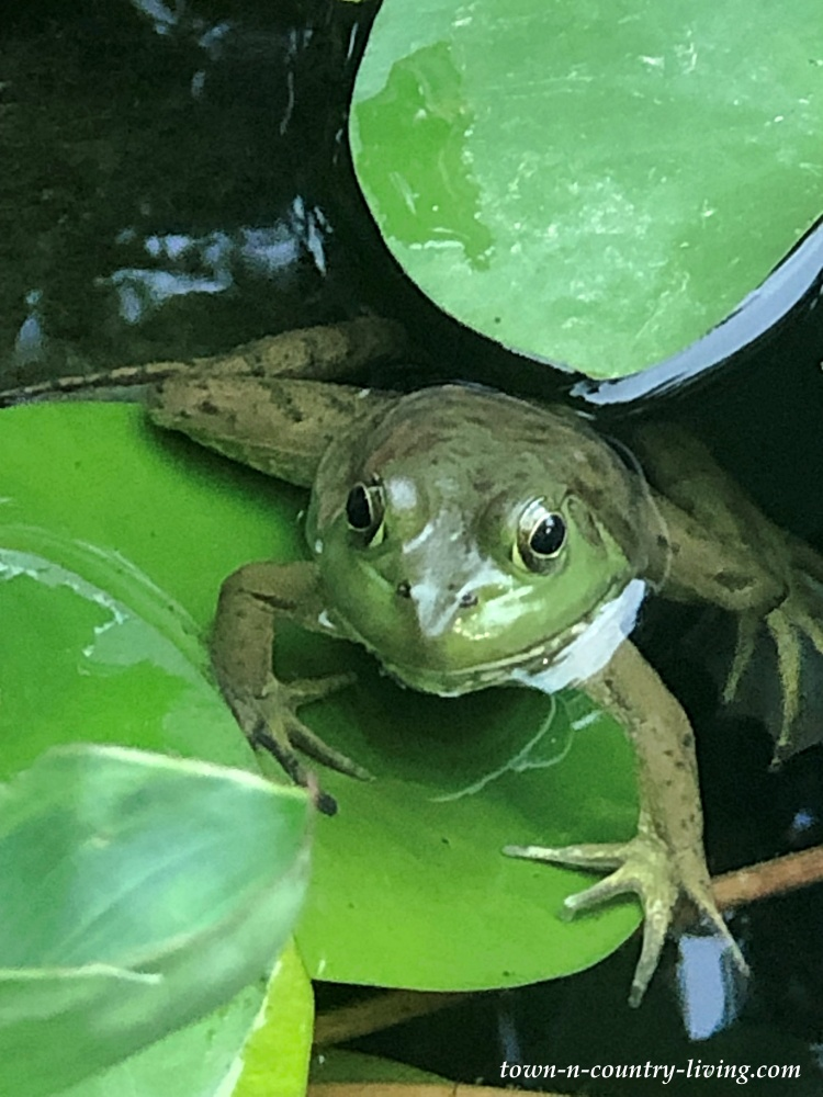 Green Frog on a Lily Pad in a Koi Pond