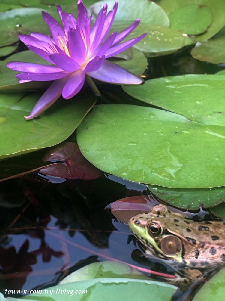 Leopard frog on a lily pad next to a Violicious hardy waterlily