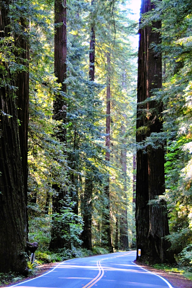 Avenue of the Giants through the redwood forest in northern California
