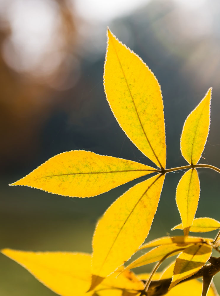 yellow leaves of hickory tree