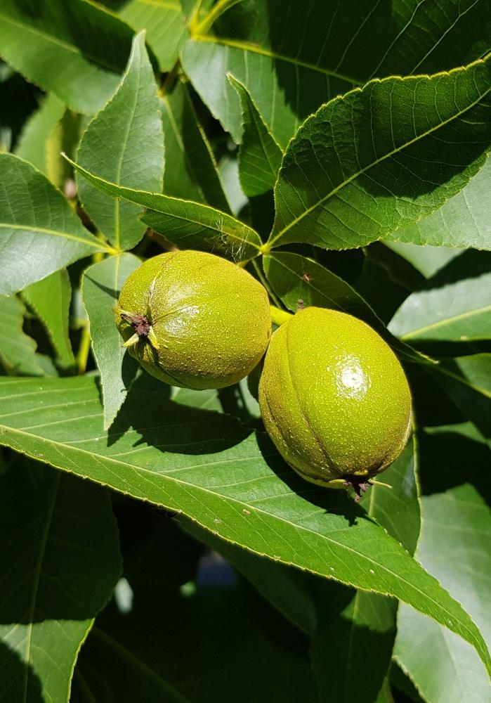 Fruits of the Carya ovata, the shagbark hickory