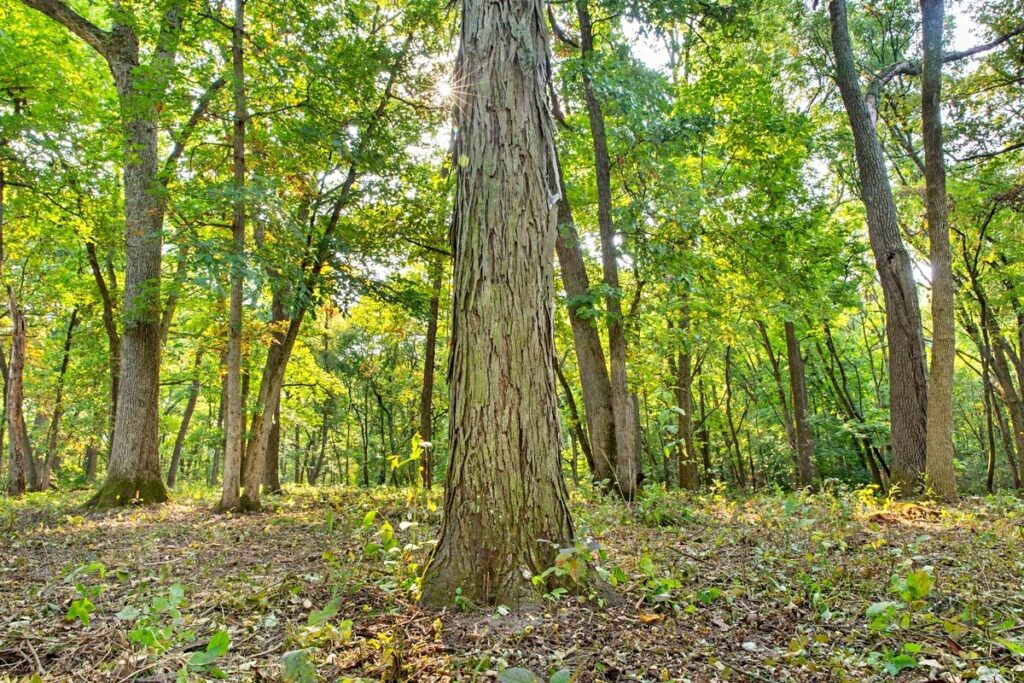 Shagbark Hickory Tree in Forest